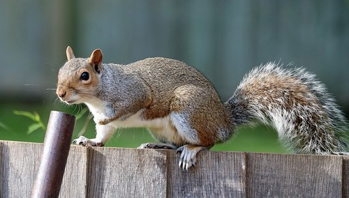 squirrel control gardens