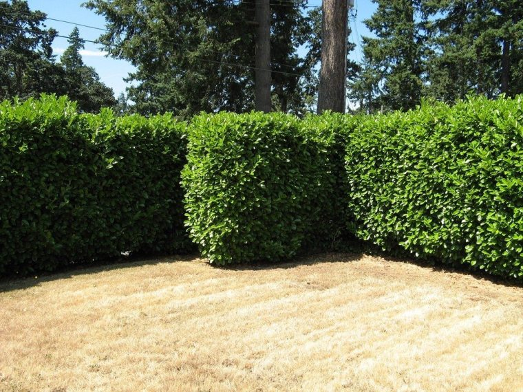 privacy-hedges against neighbors